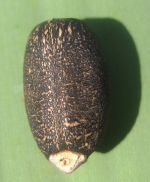 630px-Jatropha_curcas_-_seed