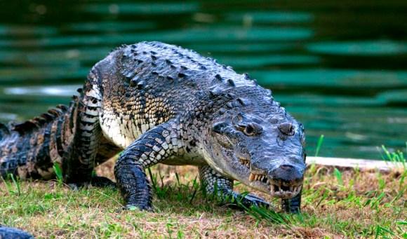 Crocodylus moreletii RETOQ